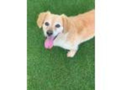 Adopt Bear 1004-19 a Tan/Yellow/Fawn Dachshund / Mixed dog in Cumming