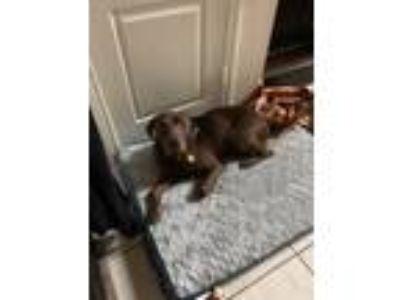 Adopt Rusty a Brown/Chocolate Labrador Retriever / Vizsla / Mixed dog in San