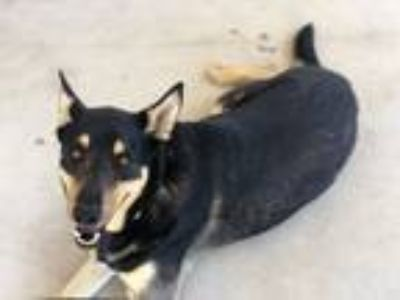 Adopt Max a Black - with Tan, Yellow or Fawn Shepherd (Unknown Type) / Shepherd