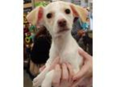 Adopt Tippy a White - with Tan, Yellow or Fawn Spaniel (Unknown Type) / Mixed