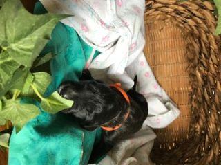 Saint Berdoodle PUPPY FOR SALE ADN-87658 - St Berdoodle Puppies