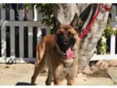 Adopt Gaucho a Tan/Yellow/Fawn - with Black German Shepherd Dog / Mixed dog in