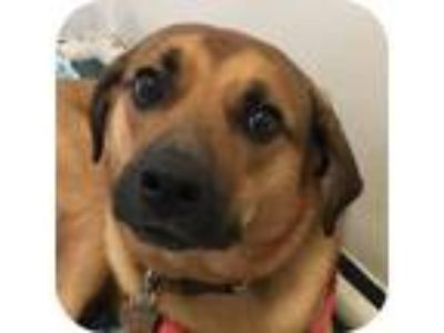 Adopt Riley a Labrador Retriever, Mixed Breed