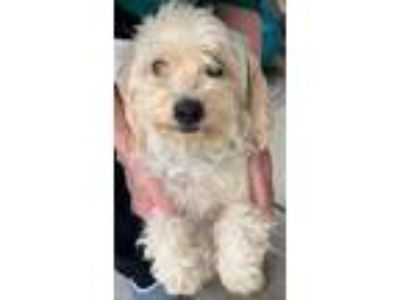 Adopt Penny a Poodle