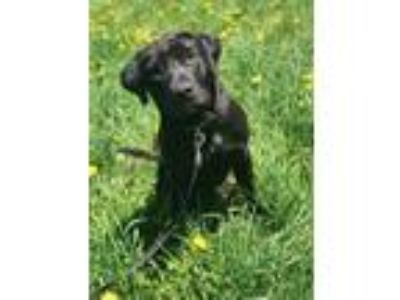 Adopt Asher a Retriever, Labrador Retriever