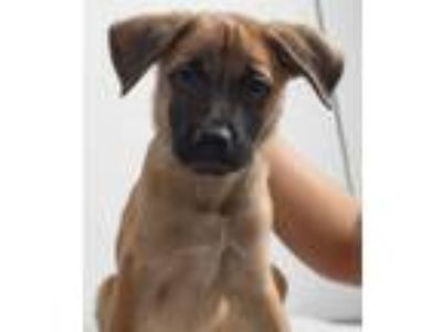 Adopt Sherwood Puppy a Shepherd