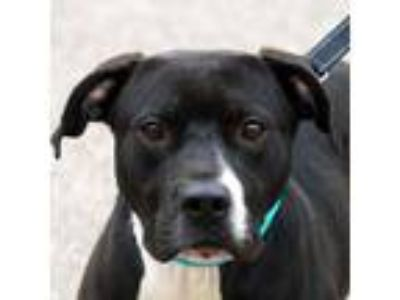 Adopt Oddball a Black - with White American Staffordshire Terrier / Boxer /