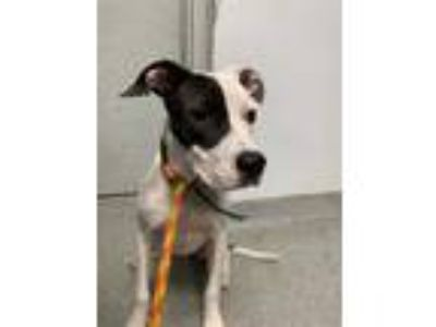 Adopt LITTLE BIT a Black - with White American Pit Bull Terrier / Mixed dog in