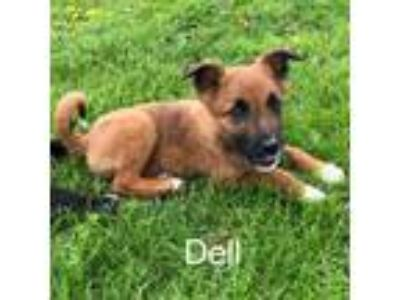 Adopt Dell a Labrador Retriever, Shepherd