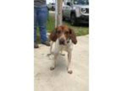 Adopt Ranger a Coonhound, Mixed Breed