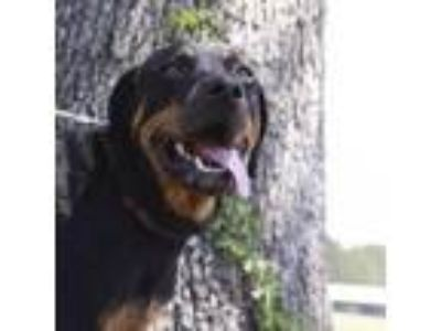 Adopt Electra a Black Rottweiler dog in Kaufman, TX (24569667)