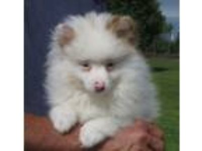 Adopt Vincent a White - with Brown or Chocolate Pomeranian / Mixed dog in