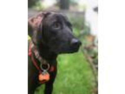 Adopt BRANDON FOSTER NEEDED a Black - with White Labrador Retriever / Mixed dog