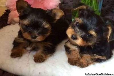 kkejjehb Male and female Yorkie Puppies