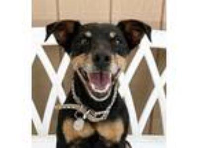 Adopt Olive a Manchester Terrier, Miniature Pinscher
