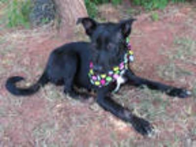 Adopt PUPPY GENE a Black - with White Border Collie / Mixed dog in Oklahoma