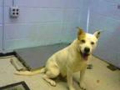 Adopt MAX a Pointer, Australian Cattle Dog / Blue Heeler