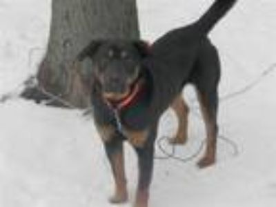 Adopt Hank a Rottweiler, German Shepherd Dog