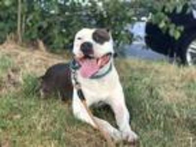 Adopt Patches a Black American Pit Bull Terrier / Mixed dog in Brooklyn