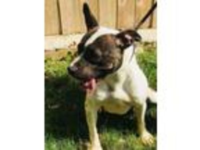 Adopt Rosie a Brindle - with White Pit Bull Terrier / American Staffordshire