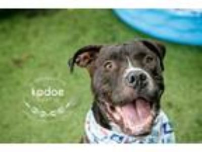 Adopt Kadoe a Pit Bull Terrier, Mixed Breed