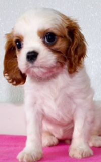Button Female AKC King Charles Cavalier