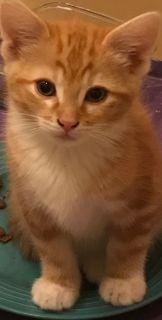 Munchkin kittens standard and non-standard
