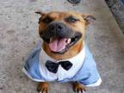 Adopt TREVOR a Staffordshire Bull Terrier, Mixed Breed