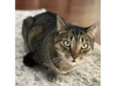 Adopt Finnigan a Brown Tabby American Shorthair / Mixed cat in Las Vegas