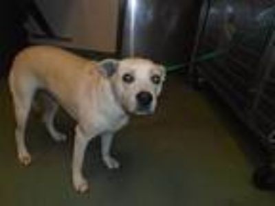 Adopt Willow a Shepherd (Unknown Type) / Labrador Retriever / Mixed dog in