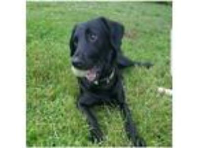 Adopt Chopper a Black Labrador Retriever / Shepherd (Unknown Type) / Mixed dog