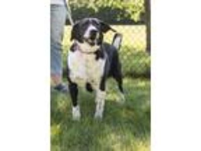 Adopt Mandy a Black - with White Border Collie / Mixed dog in Elgin