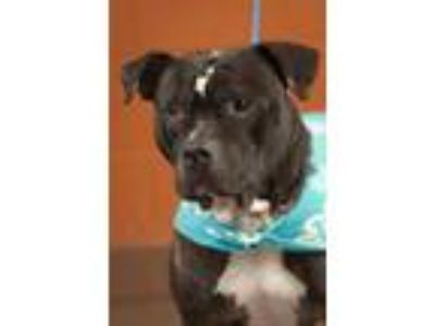 Adopt Tarzan a Black Pit Bull Terrier / Mixed dog in Johnson City, TN (21395453)