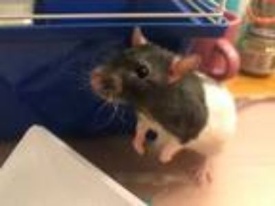 Adopt BB King a Rat