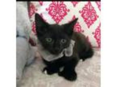 Adopt Clawdia Kitten Hemmingway! a Extra-Toes Cat / Hemingway Polydactyl