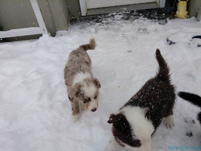 Craigslist - Dogs for Adoption Classified Ads in Boise ...