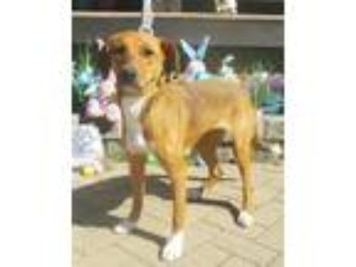 Adopt Alily a Tan/Yellow/Fawn - with White Labrador Retriever / Hound (Unknown