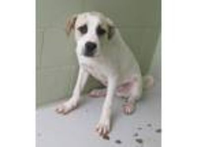 Adopt Leno a White - with Tan, Yellow or Fawn Anatolian Shepherd / Mixed dog in