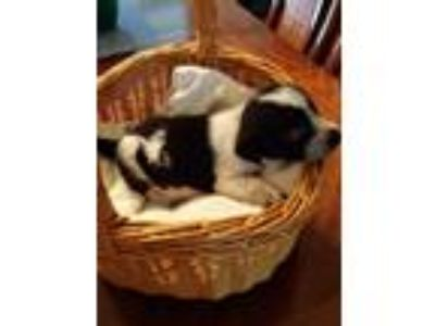 Adopt Jada's puppy Pat a Black - with White Shepherd (Unknown Type) / Mixed dog