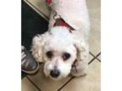 Adopt Tank a White Bichon Frise / Poodle (Miniature) / Mixed dog in Akron
