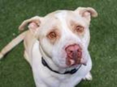 Adopt a Tan/Yellow/Fawn - with White American Pit Bull Terrier / Labrador