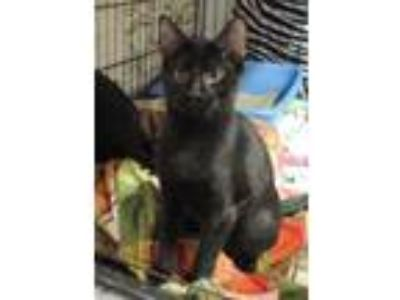 Adopt Pablo a All Black Domestic Shorthair / Domestic Shorthair / Mixed cat in