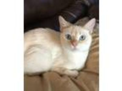 Adopt Reese a Siamese, Domestic Short Hair