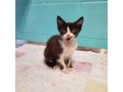 Adopt Alexa a Black & White or Tuxedo Domestic Shorthair (short coat) cat in