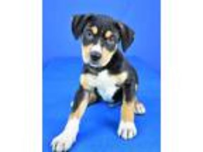Adopt (found) Dalton a Black Labrador Retriever / Rottweiler / Mixed dog in