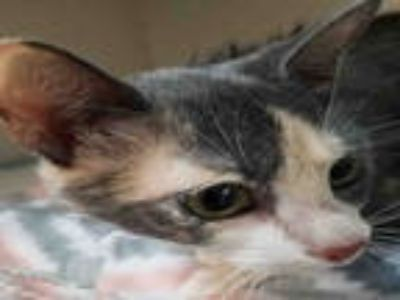 Adopt PINEAPPLE a Tortoiseshell Domestic Shorthair / Mixed (short coat) cat in