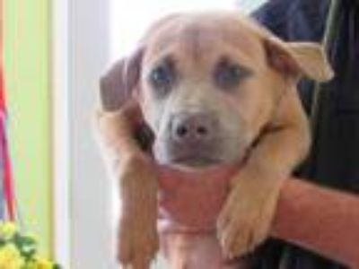 Adopt Henley a Tan/Yellow/Fawn Shepherd (Unknown Type) / Mixed dog in West