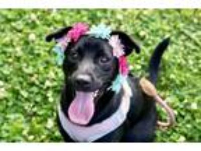 Adopt Connie a Black German Shepherd Dog dog in Greenbelt, MD (25588512)