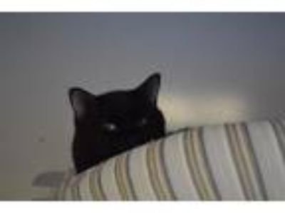 Adopt Blackout aka Shadow a Domestic Short Hair