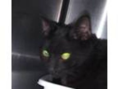 Adopt STARDUST a Domestic Short Hair